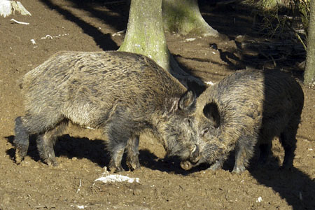 Wild boars in the deep Hunsrück forests