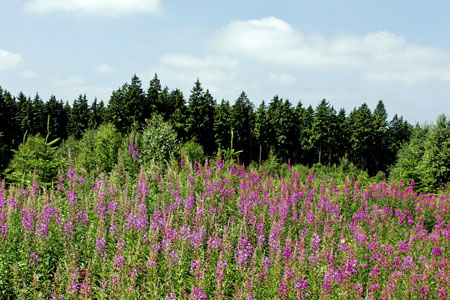 Summer in the Hochwald Forest: blaze of color of wildflowers («Hochwald» Forest)